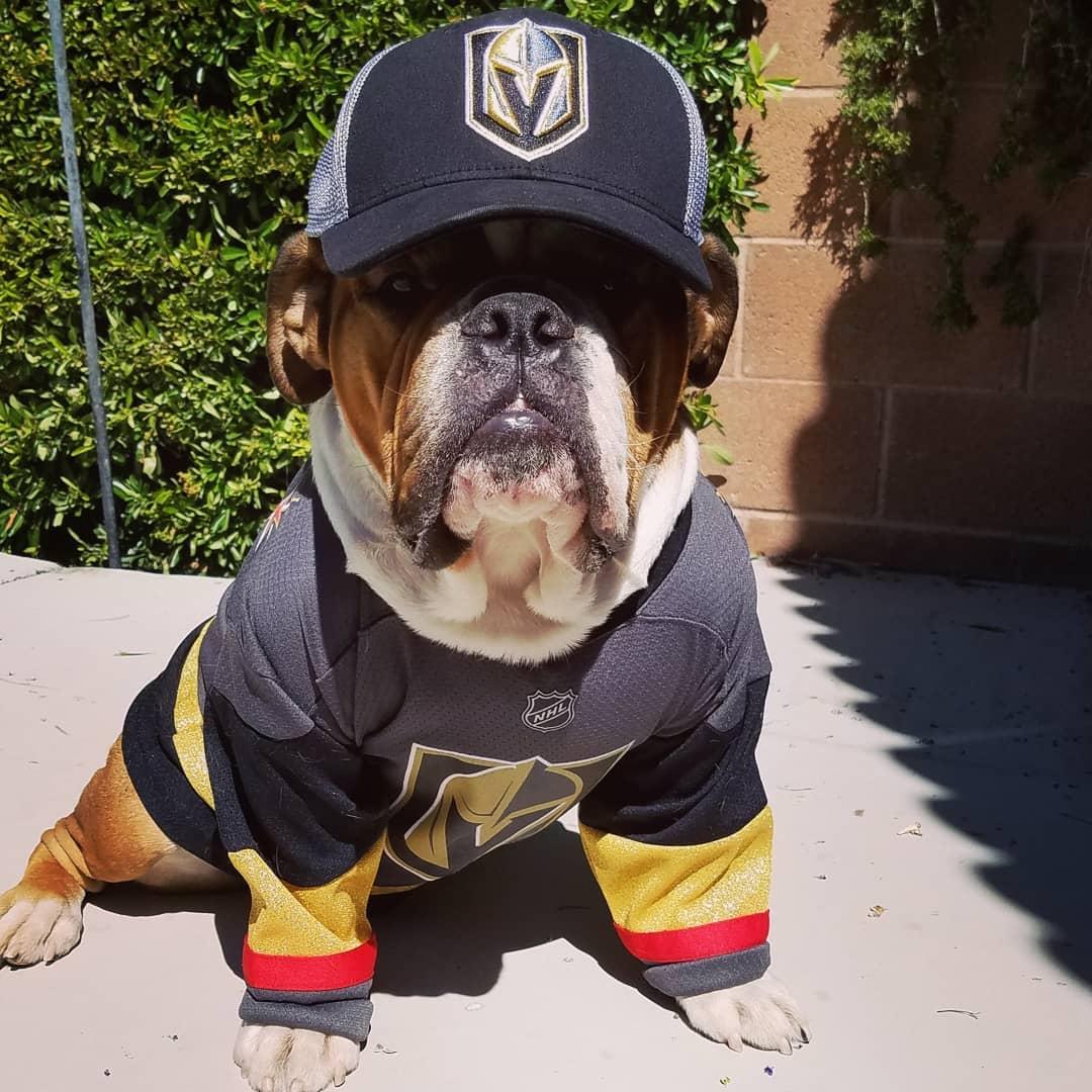 Golden Knights Dog